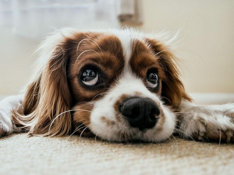 Los perros podrían ser el eslabón perdido para entender el cáncer de cerebro